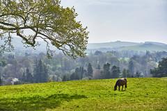 Horse in Powerscourt Field (Phoenix Konstantin) Tags: sonya7rii sonyilce7rm2 fullframe ireland landscape horse mountains grass greengrass sel55f18z zeisssonnartfe55mmf18za zeiss wicklowmountains wicklowcounty