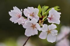 Vancouver 温哥華 (syue2k) Tags: british columbia 不列顛哥倫比亞省 canada sakura cherry blossom season 樱花季節 vancouver 温哥華