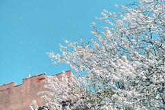 Snowing | Spring 2019 #114/365 (A. Aleksandravičius) Tags: snowing kaunas blossoms wind lithuania city nikon z 7 nikonz7 z7 mirrorless nikkor 85mm 85 2019 365 3652019 85mmf18g nikkor85mm nikon85mm18g f18g nikon85mm project365 114365