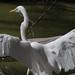 DSC_7514.jpg Great Egret, Natural Bridges