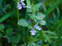 Gundermann (Elisabeth patchwork) Tags: glechomahederacea gundermann wildflower naturephotography