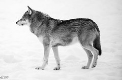 """""""The strength of the wolf is the pack, and the strength of the pack is the wolf"""" - Rudyard Kipling (eba5684) Tags: animal animals wildanimal wildanimals wild wolf wolves beast savage cute snow white blackandwhite bw portrait animalportrait nature winter zoo alpha alphafemale"""