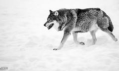The Wolf (explored 27.4.2019) (eba5684) Tags: animal animals wildanimal wildanimals wild wolf wolves beast savage cute snow white blackandwhite bw portrait animalportrait nature winter zoo