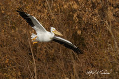 American White Pelican_20A2980 (Alfred J. Lockwood Photography) Tags: alfredjlockwood nature wildlife birdsinflight americanwhitepelican gliding winter morning whiterocklake dallas texas
