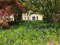 Bluebells At The Lodge (Marc Sayce) Tags: bluebells lodge alice holt forest hampshire farnham surrey spring april 2019
