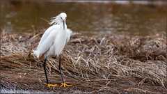(c)WMH_2019_04_25_1880 Snowy Egret (WesleyHowie) Tags: clamharbour birds snowyegret canada location egrets wildlife novascotia
