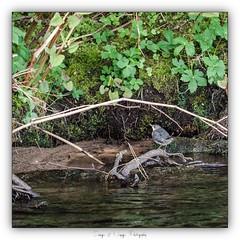 Pb_4250069 (calpha19) Tags: ngc imagesvoyagesphotography flickr flickrsexplore adobephotoshoplightroom olympusomdem1mkii zuiko 50200swd ed50200swd oiseaux deaux cincleplongeur lavologne rivière river grandest vosges