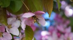 Japanische Zierkirsche (Gruetzimami) Tags: tree spring cherry frühling baum rosa
