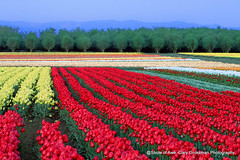 Blue Hour Special (Gary Grossman) Tags: tulips flowers rows mountains trees cascades oregon willamette woodburn northwest landscape garygrossman garygrossmanphotography pacificnorthwest willamettevalley woodenshoetulipfarm bluehour landscapephotography he