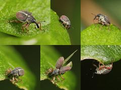 EOS 7D Mark II_082772_C (Gertjan Kamsteeg) Tags: animal invertebrate bug macro insect beetle weevil curculionoidea snuitkever