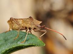 EOS 7D Mark II_082741 (Gertjan Kamsteeg) Tags: macro animal bug insect invertebrate truebug coreidae heteroptera coreusmarginatus dockbug heteropteran wants zuringwants lederwants zuringrandwants fluweelbruinerandwants coreidbug leaffootedbug randwants