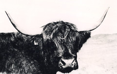 Cow Print (fawcetownsley) Tags: film 17mm wideangle copex agfacopex agfa blackandwhite bw print darkroom