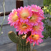 Pink echinopsis super bloom