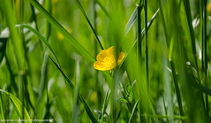The little buttercup. (andreasheinrich) Tags: spring nature flower buttercup orchard april afternoon sunny warm colorful germany badenwürttemberg neckarsulm dahenfeld deutschland frühling natur blume butterblume obstwiese nachmittag sonnig farbenfroh nikond7000