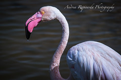 Pink flamingo closeup (Andrea Rapisarda) Tags: fenicottero rosa pink flamingo priolo riservanaturale saline animal bird uccello nikon d750 600mm natura nature animali