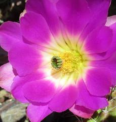 Pink Cactus Flower (Stan Celestian) Tags: cactus flowers cactusflowers