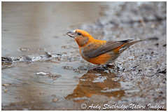 Mr & Mrs Crossbill Reflected (www.andystuthridgenatureimages.co.uk) Tags: crossbill male finch drinking water pool woodland forest floor ground bird uk