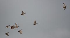 """Gadwall - """"follow my leader""""! (wryneck94) Tags: birdwatching somersetlevels somerset"""