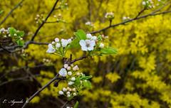 Spring (E. Aguedo) Tags: spring tree flower garden backyard colors bokeh warwick rhode island ngc nature new england america leaves n