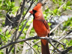 Curious (Anton Shomali - Thank you for over 2 million views) Tags: colorful redbird female outdoor nature branches male color red cardinal northern macro light outside beauty beautiful black seeds january bird hungry cold season winter midwest snow birds house backyard green yellow white flacks tree food wood nikon coolpix p900