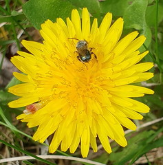 Tiny Green Bee Feeding On A Dandelion 20190422_131704 (Ted_Roger_Karson) Tags: topic northern illinois hand held camera dandelion bee flower thisisexcellent flying flowers super macro lens flowerhead yard friends twop bug hd winter eyes macroscopic pollen animal outdoor insect pollinator plant depth field backyard animals garden