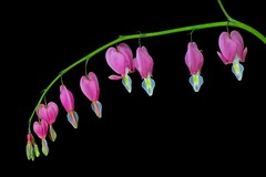 Bleeding Hearts (macromerriment) Tags: lamprocapnos spectabilis lamprocapnosspectabilis bleedingheart bleeding hearts focus stack heliconfocus pink green black blackbackground flower garden bloom blossom outdoors nature outside backyard