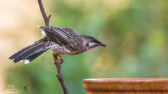 Red Wattlebird (Jennie Stock) Tags: anthochaeracarunculata bridgetown redwattlebird