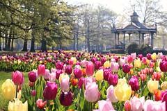 ❤❤ (RW-V) Tags: canoneos70d canonefs35mmf28macroisstm oranjepark apeldoorn tulipes tulpen tulips colourful coloré spring fleurs flowers bloemen bandstand sooc 175faves 225faves 275faves 325faves 375faves 425faves 475faves 500faves 525faves