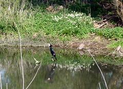 Great cormorant on the Loddon, April 2019 (karenblakeman) Tags: readinggreendrinkswalk loddon river berkshire uk april 2019 loddonlily leucojumaestivum greatcormorant phalacrocoraxcarbo bird reflection