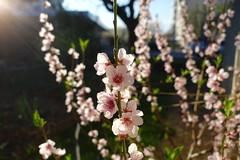 Spring flower @ Annecy-le-Vieux (*_*) Tags: europe france hautesavoie 74 annecy annecylevieux 2019 april afternoon printemps spring sunset flower
