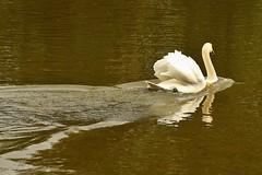 Swan Speeding Away (Eddie Crutchley) Tags: europe england cheshire outdoor nature lake muteswan shakerleymere water beauty reflections greatphotographers worldofanimals