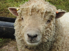 Sheep Face (blue33hibiscus) Tags: sheep wiltshire animal