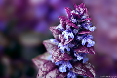Bugle Pyramidale (Clém VDB ( Tiogris)) Tags: buglepyramidale buglerampant fleur flower macro plante nature violet bleu blue