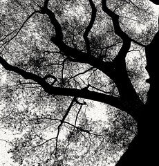 Upshot (daveandlyn1) Tags: tree branches leaves upshot bw blackwhite mono monochrome alexanderpark manchester smartphone psdigitalcamera cameraphone pralx1 p8lite2017 huawei huaweip8 treetrunk