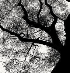 Upshot (daveandlyn1) Tags: tree branches leaves upshot bw blackwhite mono monochrome alexanderpark manchester smartphone psdigitalcamera cameraphone pralx1 p8lite2017 huawei huaweip8 treetrunk