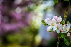 ReFreshing (NathalieSt) Tags: europe france fleur flower hautsdefrance nature nikon nikond750 nikonpassion nikonphotography noyon oise picardie printemps spring