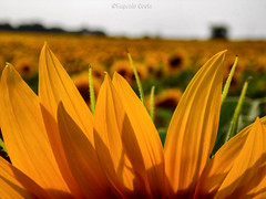 il Girasole (1)  / the Sunflower (1) (Eugenio GV Costa) Tags: fiore fiori macro flower flowers wildflower sunflower girasole