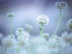 White clover (Tomo M) Tags: シロツメクサ クローバー flower plant outdoor white nature bokeh soft