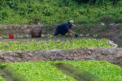 _5ND7358_LR_LOGO (Ray 'Wolverine' Li) Tags: hongkong farming farm farmer citylife hongkonglife happyplanet asiafavorites asian