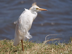 Western Cattle Egret Bubulcus ibis (nik.borrow) Tags: bird egret ngorongoro