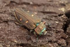 Chrysobothris affinis (Radim Gabriš) Tags: coleoptera buprestidae jewelbeetle beetle chrysobothris chrysobothrisaffinis macro insect