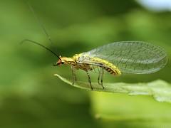 Hypochrysa elegans (Radim Gabriš) Tags: insect neuroptera chrysopidae hypochrysa hypochrysaelegans lacewing macro