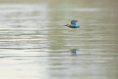 PILT3859 (ottmaasikas) Tags: jäälindalcedoatthiskingfisher kingfisher jäälind alcedo atthis
