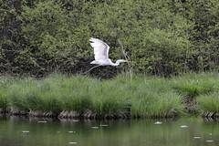 Grande Aigrette (ed.mont38) Tags: animal grandeaigrette isère oiseaux