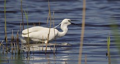 Little Egret (Alan McCluskie) Tags: littleegret egret birds waterbirds rspbhamwall somersetlevels egrettagazetta herons