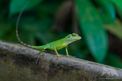 Green Crested Lizard #Explored (fascinationwildlife) Tags: green crested lizard bukit thima nature natur wild wildlife reserve singapore singapur asia asien tropical rain forest regenwald eidechse animal reptile primeval wald langschwanzagame