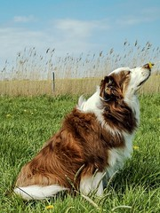 Anthony the Border Collie 🐾☀️ (unbunt.me) Tags: printboldly lrcc huawei blackandwhite nordfriesland blackwhite bordercollie dog hund anthony