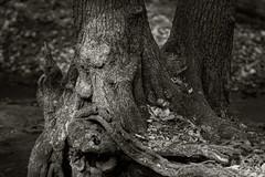 Forest spirits - Waldgeister (nordelch61) Tags: deutschland hessen darmstadt oberwald wald baum bäume stamm wurzeln rinde laub moos uralt knorzig forest tree trees roots wooden waldgeist forestghost forestspirit