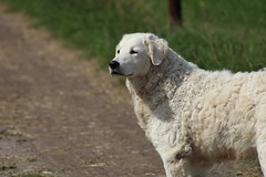 Sweet  Levi Waiting  for  the  Cows (excellentzebu1050) Tags: dog farmdog farm pet animal animalportraits coth5
