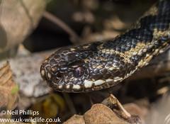 Adder-10 (Neil Phillips) Tags: reptilia vipera viperaberus adder berus reptile snake venomous viper